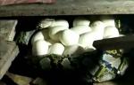 Warga Jalan Tartar Temukan Ular Sanca Bertelur di Rumah Kosong