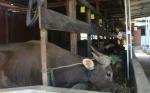 DKPP Palangka Raya akan Sosialisasikan Cara Halal Sembelih Hewan Kurban