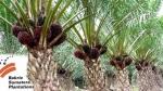 Bakrie Sumatera Plantations Cetak Penjualan Bersih Rp916,301 Miliar