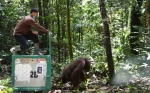 8 Orangutan Dilepasliarkan ke Taman Nasional Bukit Baka Bukit Raya