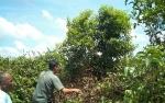 Belasan Sarang Orangutan Ditemukan di Hutan Desa Bagendang Hilir