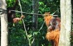 Project Pulau Salat, Langkah SMSS Lestarikan Orangutan
