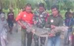 Buaya 2,5 Meter Tersangkut Jaring Ikan Nelayan di Sampit