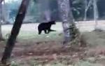Beruang Madu Terlihat Berkeliaran di Pinggir Hutan TNI AU Lanud Iskandar Pangkalan Bun
