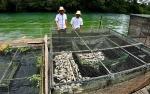 Petani Keramba Merugi akibat Perubahan Warna Air Sungai Jelai