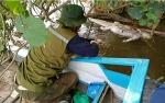 Bangkai Buaya di Sungai Dusun Belanti Memiliki Panjang 2,5 Meter