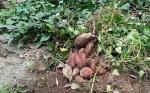 Warga Desa Bangun Harja Budidayakan Tanaman Ubi di Lahan 100 Hektare