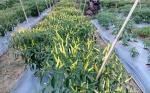 Cabai Rawit Dibudidayakan Kelompok Tani di Barito Timur