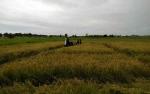 Pemkab Sukamara Siapkan 10 Hektare Lahan Untuk Budidaya Serai