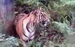 Harimau Terkam Warga di Desa, BKSDA Upayakan Penangkapan