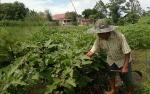 Produksi Sayur Melimpah, Kementan Klaim Bisa Ekspor