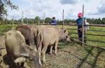 Kelompok Tani Desa Pulau Patai Dapat Bantuan Kerbau dari Provinsi