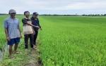 Ribuan Hektere Tanaman Padi di Katingan Kuala Terancam Puso