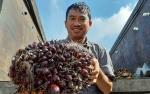 Gapki Kalbar: Produksi CPO Turun, Harga Sawit Naik