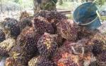 Harga Membaik, Pemilik Kebun Sawit di Katingan Kembali Bergairah