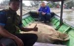SKW II Pangkalan Bun Evakuasi Penyu Hijau Terdampar di Sungai Kumai