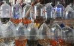 KKP Targetkan Produksi Ikan Hias 1,8 Miliar Ekor pada 2020