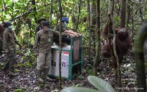 3 Orangutan Dilepasliarkan di Taman Nasional Bukit Baka Bukit Raya Katingan