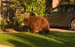 Beruang 180 Kilogram Masuk ke Pemukiman di Los Angeles