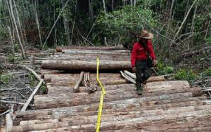 Polsek Cempaga Ringkus Pelaku Illegal Logging di Tengah Hutan