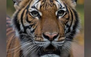 Harimau di Kebun Binatang New York Positif Terpapar Virus Corona