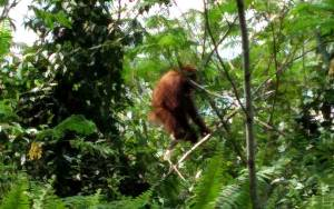Orangutan Masuk Kebun Karet Warga di Kelurahan Kota Besi Hulu