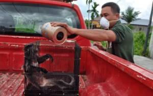 BKSDA Evakuasi Lutung Berkeliaran di Perumahan Wengga Sampit