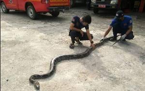 Tim Animal Rescue Damkar Kobar Evakuasi Ular Piton 5 Meter Masuk Toko Pakaian