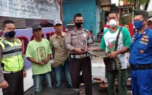 Teror Warga Desa Telaga Baru, Anak Buaya Ini pun Ditangkap
