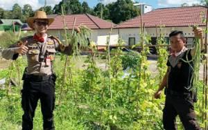 Kapolsek dan Anggota Panen di Kebun Hasil Budidaya Polsek Banama Tingang