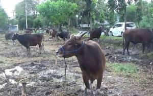 Penjual Hewan Kurban di Sampit Sudah Banyak