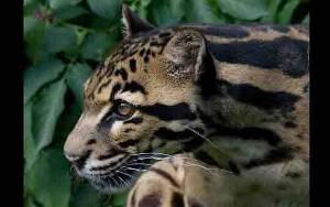 Ternak Kambing Mati di Lubuk Alung, Macan Dahan Jadi Tersangka