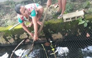 Perempuan di Sampit Ini Tangkap Ular Sanca di Selokan