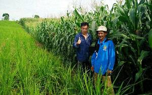 Dinas Pertanian Siap Hadapi Hama Grayak