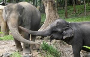 Kisah Gajah di Thailand Ketemu Cinta Lama di Tempat Perlindungan
