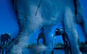 Gajah Bostwana Mati Massal Karena Racun Bakteri dari Sumber Air