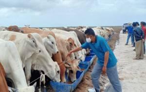 Sukamara Ranch Mulai Drop 500 Ekor Sapi, Bupati Sambut Gembira Kedatangan Investor Peternakan untuk Dukung Food Estate
