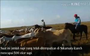 Video Sapi-Sapi di Padang Savana Sukamara Ranch