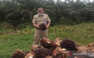 Harga Minyak Nabati Global Melorot Picu Turunnya Harga Sawit Riau