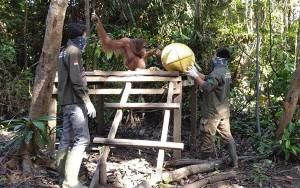 SSMS Tetap Menyediakan Pakan Untuk Orangutan di Masa Pandemi
