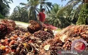 Kementan Sebut 2,8 Juta Hektare Lahan Sawit Rakyat Perlu Diremajakan