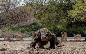 Ibu Berjibaku Bebaskan Anaknya dari Gigitan Komodo