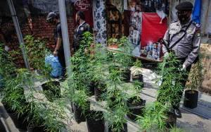 Penanam Ganja di Rumah Ajukan Gugatan UU Narkotika ke MK