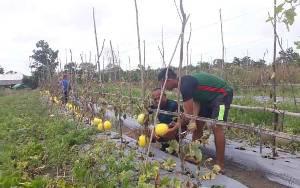 Agrowisata Petik Buah Melon di Kumpai Batu Atas Destinasi Wisata Baru di Kobar