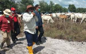 Presiden Jokowi akan ke Sukamara Lepaskan 5.000 Ekor Sapi di Lokasi Peternakan