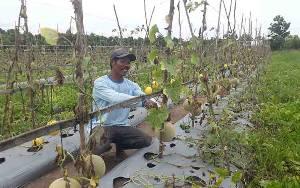 Agrowisata Petik Buah Melon di Kumpai Batu Atas Tingkatkan Pendapatan Petani