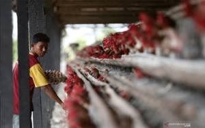 Kementan Klaim Pengendalian Produksi Ayam Ras Berdampak Positif bagi Peternak