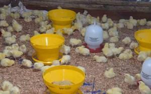 Pemko Palangka Raya Kelola 10 Ribu Ayam Broiler