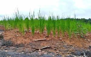 Penyuluh di Barito Timur Temukan Petani Tanam Padi pada Lahan eks Tambang Batubara