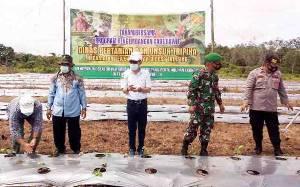 Petani di Barito Utara Tanam Cabai dengan Sistem Mulsa Plastik